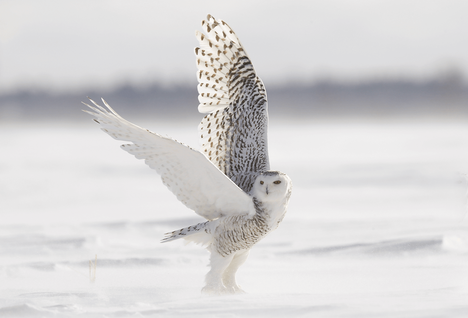 Canada-Ontario-Chouette-Harfang-des-neiges-Photo-Michel-Rawicki2.png